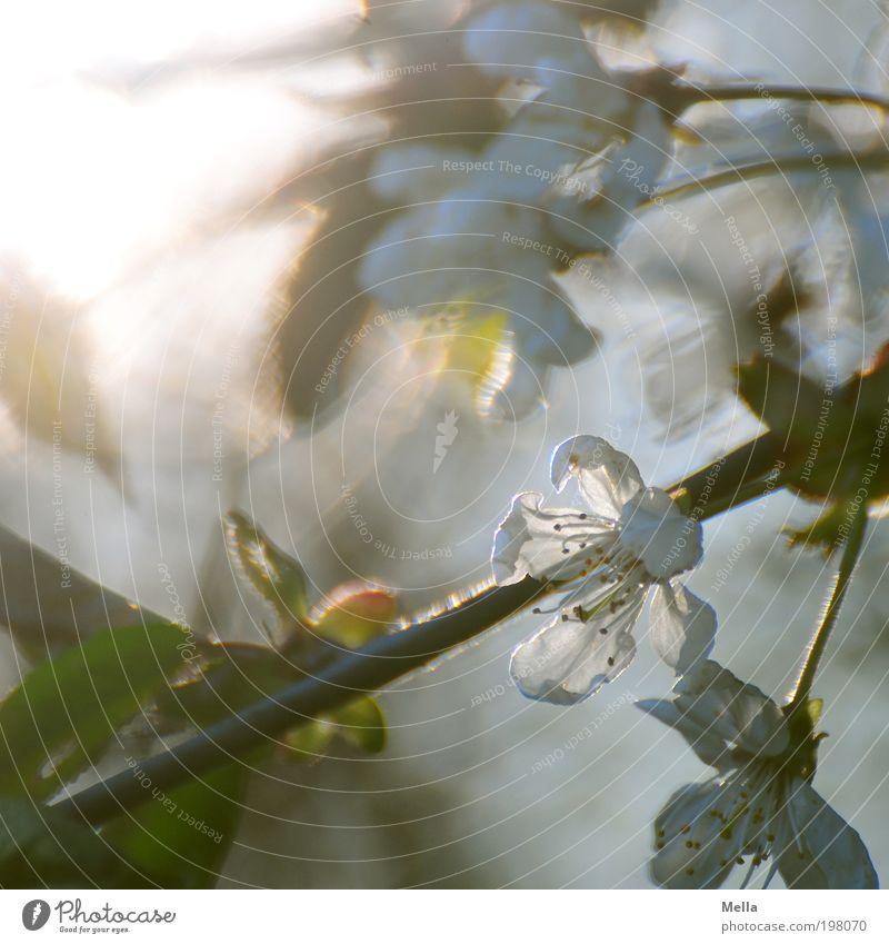 Sonne, Sonne, scheine Umwelt Natur Pflanze Frühling Baum Blüte Kirschblüten Garten Blühend Wachstum hell schön natürlich Stimmung Frühlingsgefühle Duft