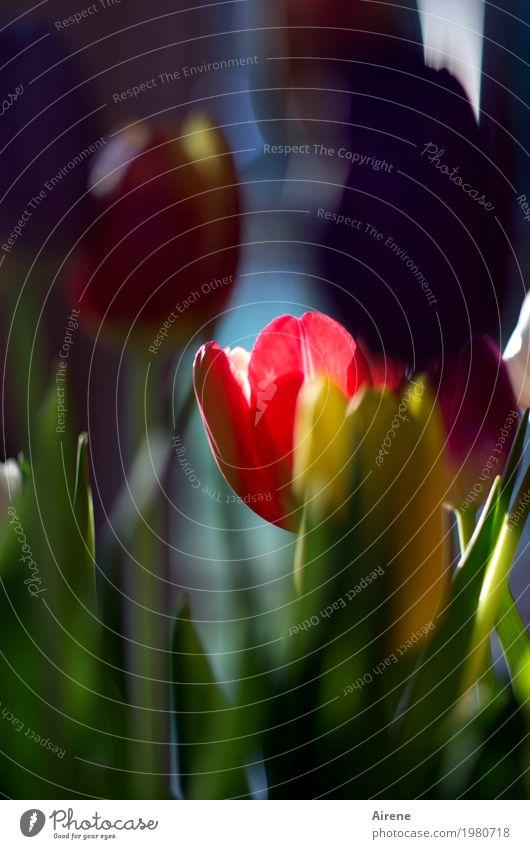 Lieblingsblume Pflanze Frühling Tulpe Blumenstrauß Blühend leuchten schön mehrfarbig rot Frühlingsgefühle Farbfoto Außenaufnahme Menschenleer Textfreiraum oben