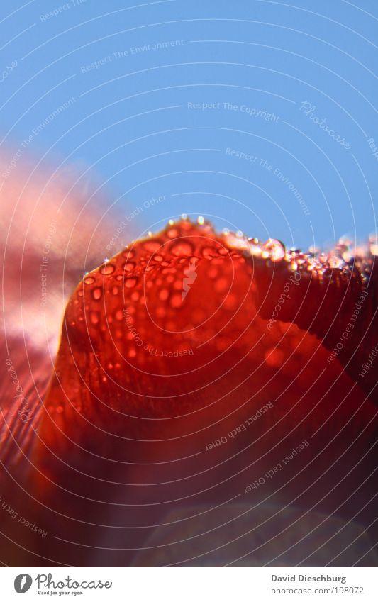 vom Regen geküsst Himmel blau Sommer rot Pflanze Blume Leben Frühling Blüte Hintergrundbild Regen nass leuchten Wassertropfen Schönes Wetter Tropfen