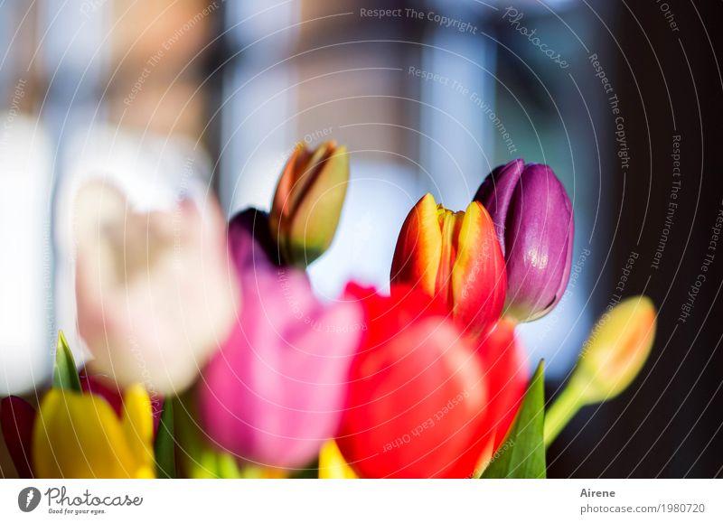 Frühling am Fenster Pflanze Blume Tulpe Blumenstrauß Blühend leuchten ästhetisch schön mehrfarbig gelb rosa rot weiß Lebensfreude Frühlingsgefühle Farbe