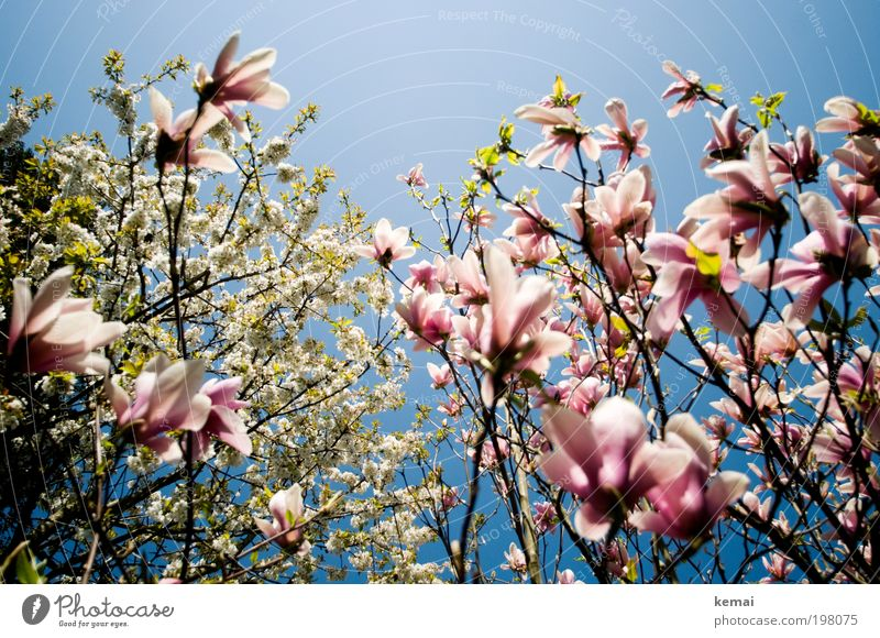 Konkurrenz-Blühen Umwelt Natur Landschaft Pflanze Himmel Wolkenloser Himmel Sonne Frühling Klima Schönes Wetter Wärme Baum Blume Blatt Blüte Grünpflanze