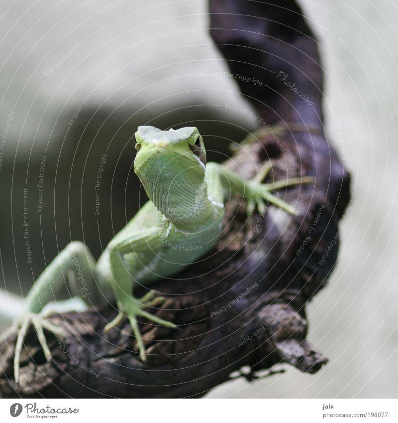 Aufpasser [LUsertreffen 04|10] schön grün ästhetisch Tiergesicht Zoo Helm Leguane Helm Basilisk