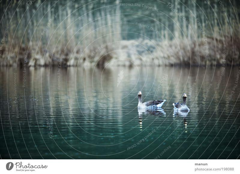 Wildgänse Natur Wasser Tier Umwelt Ernährung Leben Lebensmittel Herbst Frühling See Vogel Wildtier Freizeit & Hobby Team Seeufer Jagd