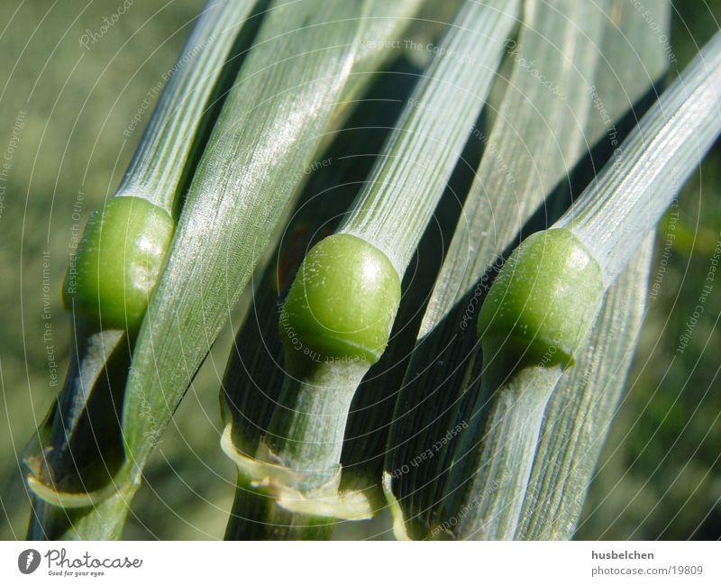 korngelenke Feld Getreide Korn Weizen Gelenk