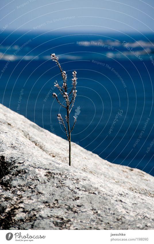 Der Horizont ist schief. Pflanze Meer Stein Blühend kämpfen Wachstum außergewöhnlich Erfolg blau anstrengen ästhetisch Einsamkeit einzigartig Energie Hoffnung