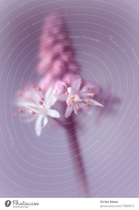 Filigrane Schaumblüten (Tiarella) Stil Design Dekoration & Verzierung Tapete Bild Poster Postkarte Natur Pflanze Frühling Blume Blüte Topfpflanze exotisch