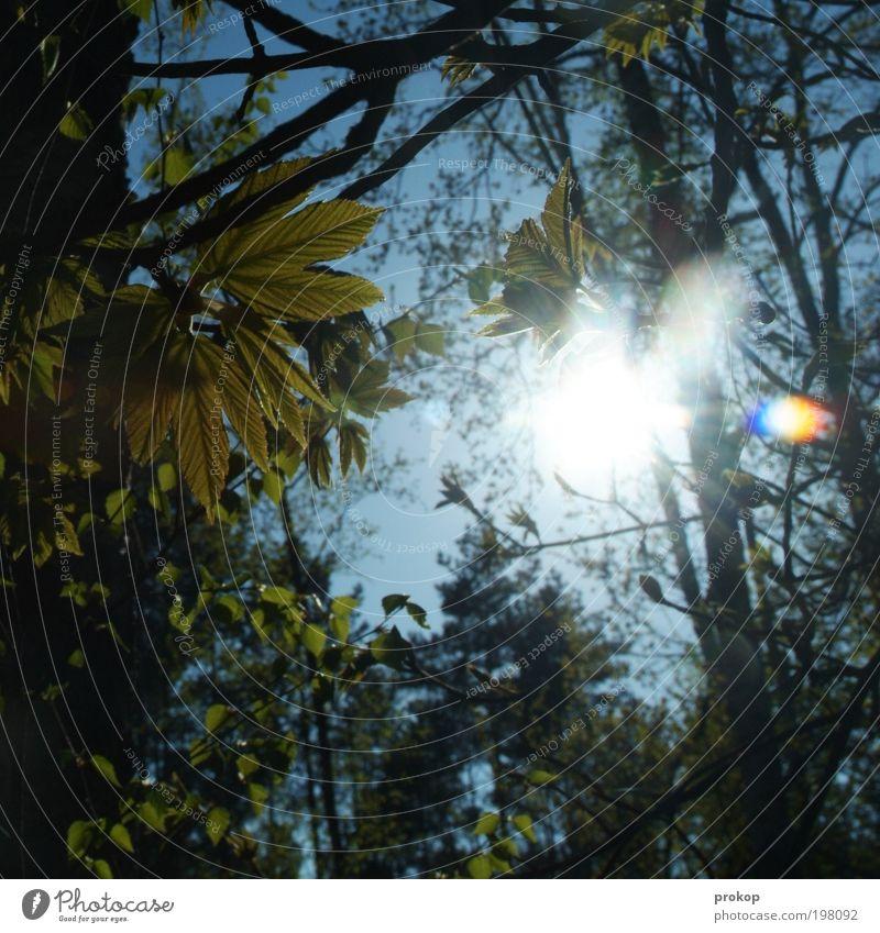 Junge Flora Umwelt Natur Pflanze Himmel Wolkenloser Himmel Sonne Sonnenlicht Frühling Sommer Wetter Schönes Wetter Baum Wald Wachstum natürlich Gefühle Stimmung