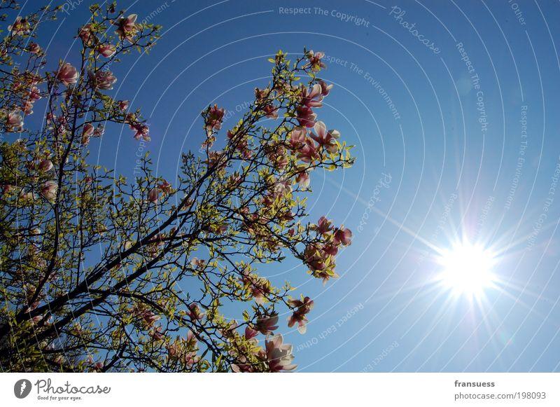 Tulpen am Baum Natur Pflanze Luft Himmel Wolkenloser Himmel Sonne Sonnenlicht Frühling Schönes Wetter Frühlingsgefühle Warmherzigkeit Glück Idylle Lebensfreude
