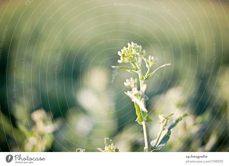 im Grünen Natur grün Pflanze Sommer Wiese Frühling Feld ästhetisch Lebensfreude natürlich Warmherzigkeit Blühend Schönes Wetter Geborgenheit Nutzpflanze