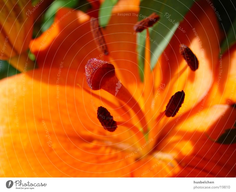 lilie Lilien Blume Blüte orange