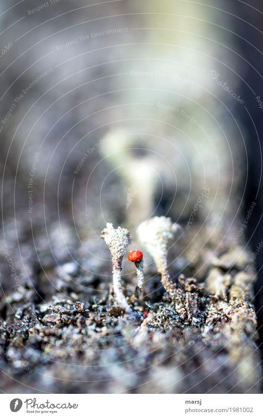 unscheinbares Detail   aber knallrot Pflanze Moos Blüte Wildpflanze Flechtenblüte rund leuchten außergewöhnlich dunkel dünn authentisch einfach einzigartig kalt