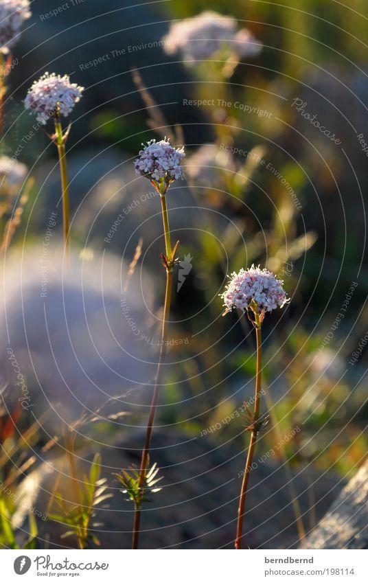 Sommer Umwelt Natur Landschaft Pflanze Schönes Wetter Blume Blüte Wildpflanze Küste Fjord beobachten Erholung Blick frisch schön Wärme Stimmung Frühlingsgefühle