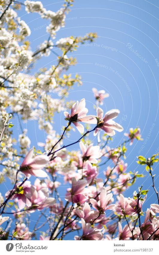Konkurrenz-Blühen (II) Umwelt Natur Pflanze Himmel Wolkenloser Himmel Sonne Sonnenlicht Frühling Sommer Schönes Wetter Wärme Sträucher Blüte Nutzpflanze