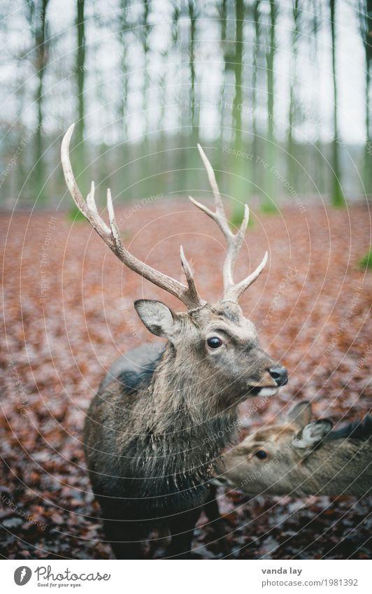 Hirsch Freizeit & Hobby Jagd Wald Tier Wildtier Zoo Hirsche Damwild Horn 1 Natur Farbfoto Außenaufnahme Menschenleer Textfreiraum links Textfreiraum rechts