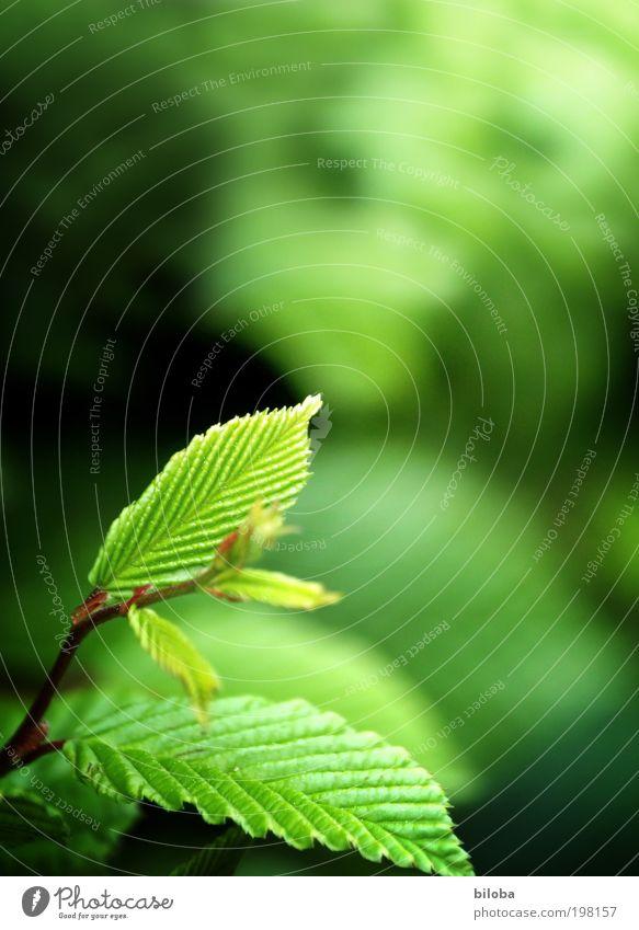 Neues Grün Natur grün Pflanze Umwelt Frühling Luft Hintergrundbild frisch ästhetisch authentisch Sträucher Birke Zweig Klimawandel Sauerstoff Zickzack