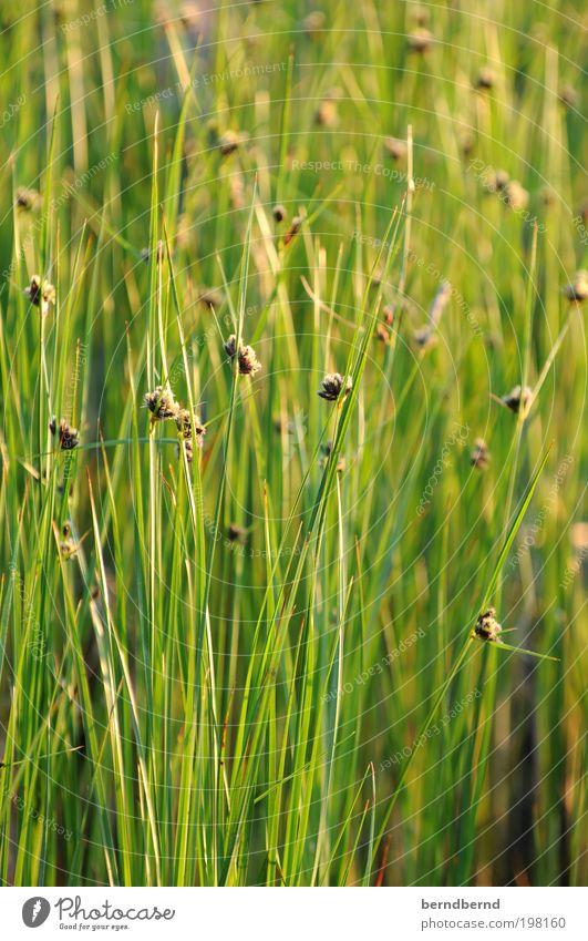 Schilf Natur Sonne Meer Blume grün Pflanze Sommer Ferien & Urlaub & Reisen ruhig Erholung Blüte Gras Wärme Landschaft hell Stimmung