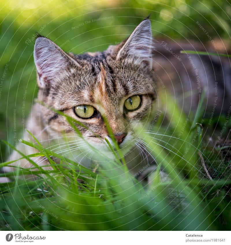 Auf der Lauer Katze Natur Pflanze Sommer schön grün Tier gelb Wiese Gras braun Stimmung liegen gold Erfolg Schönes Wetter