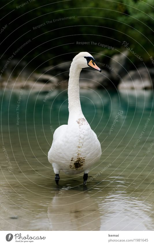 König des Flusses Ausflug Abenteuer Umwelt Natur Tier Wasser Seeufer Flussufer Bach Wildtier Schwan Tiergesicht 1 Blick stehen authentisch dreckig groß grün