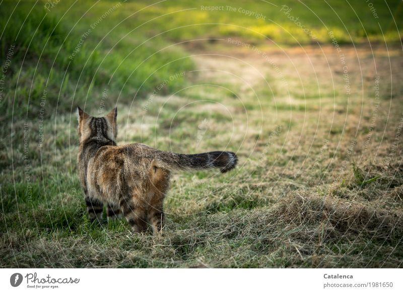 Auf Mäusesuche Katze Natur Pflanze Sommer grün Tier Freude schwarz Umwelt Leben gelb Wiese Gras braun Stimmung gehen