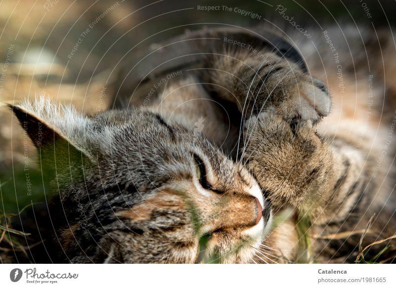Verspielt Sonnenaufgang Sonnenuntergang Sonnenlicht Sommer Schönes Wetter Gras Wiese Katze 1 Tier Erholung genießen liegen Ferien & Urlaub & Reisen niedlich