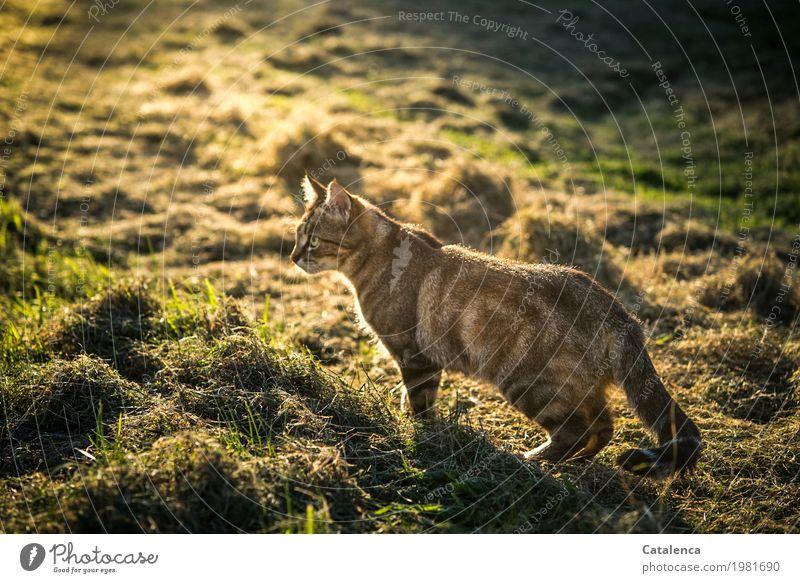 Spätnachmittags Natur Pflanze Tier Sonnenlicht Sommer Schönes Wetter Gras Wiese Feld Katze 1 beobachten kaufen Jagd listig braun gelb grün schwarz Elektrizität