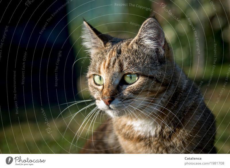 Ausschau halten Natur Pflanze Tier Sommer Schönes Wetter Baum Gras Garten Wiese Katze Tiergesicht 1 beobachten sitzen schön braun gold grün schwarz Stimmung