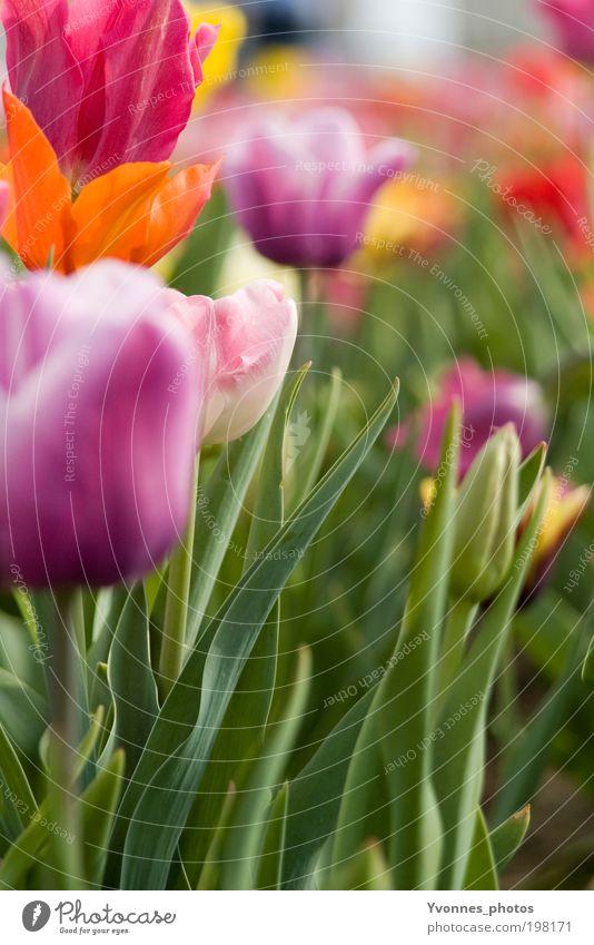 Farben des Frühling Umwelt Natur Landschaft Pflanze Sommer Blume Tulpe Feld Blumenstrauß Blühend Duft ästhetisch frisch natürlich mehrfarbig gelb violett rosa