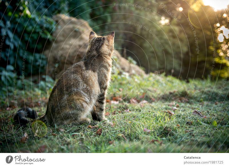 Beobachten Landschaft Pflanze Tier Sommer Schönes Wetter Gras Efeu Garten Wiese Haustier Katze 1 beobachten glänzend sitzen braun gelb gold grün geduldig