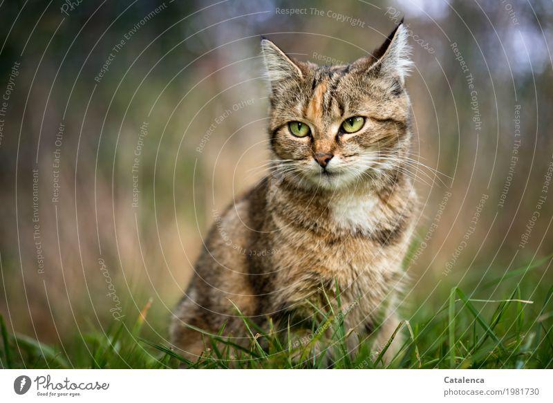 Leicht genervt Katze Natur Sommer schön grün Tier gelb Wiese Gras braun elegant sitzen einzigartig beobachten Wachsamkeit Haustier
