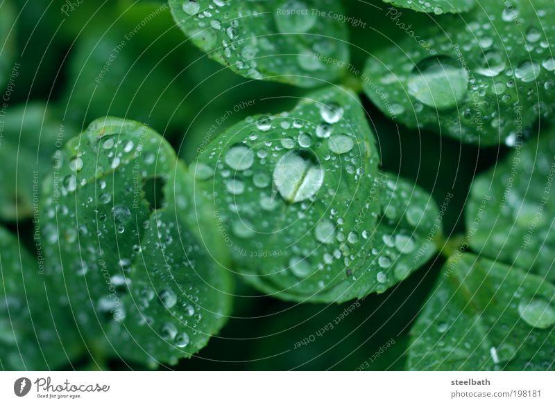 Clover Leaf / Kleeblatt Natur Pflanze grün schön Wasser Blatt kalt Wiese Glück Regen Zufriedenheit Feld Erde Wassertropfen Hügel Grünpflanze