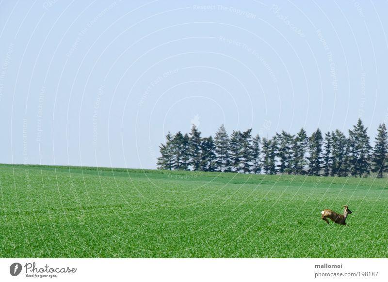 springfield Umwelt Natur Landschaft Tier Feld Wald Wildtier Reh Rehbock laufen springen Angst gefährlich Stress bedrohlich Idylle Lebensfreude Todesangst ruhig