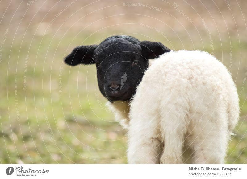 Kleines Lamm Natur grün weiß Sonne Tier schwarz Tierjunges gelb Wiese natürlich klein stehen Schönes Wetter beobachten niedlich Neugier
