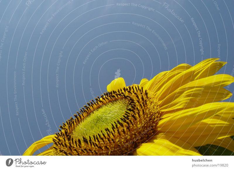 endlich etwas sonne Sonnenblume Blüte Blütenblatt gelb Himmel blau