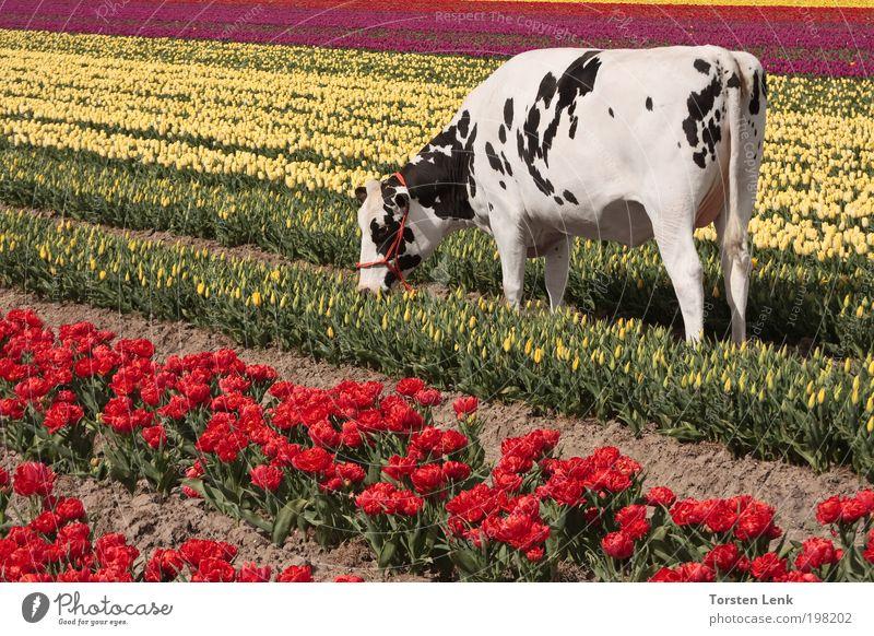 Tulpenernte Gartenarbeit Landschaft Frühling Feld Tier Haustier Kuh 1 Fressen füttern Duft Kitsch Farbfoto Außenaufnahme Tag Sonnenstrahlen Totale Tierporträt