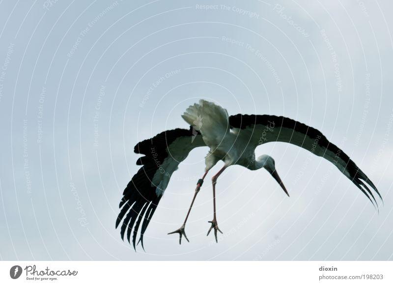 Landeanflug [LUsertreffen 04|10] Natur Himmel weiß blau schwarz Wolken Tier Beine Vogel fliegen groß Feder Flügel Wildtier Flugzeuglandung Schönes Wetter