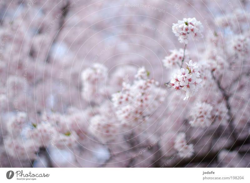 in voller Blüte Baum Nutzpflanze Wildpflanze schön rosa weiß Apfelblüte Kirschblüten Blühend Frühling Baumkrone Geäst Natur Pflanze Umwelt baumblüte hell