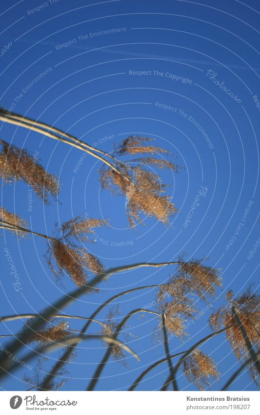 Himmelskitzler Himmel blau Pflanze gelb gold natürlich Streifen weich dünn Schönes Wetter lang Schilfrohr gegen Bach strecken schimmern