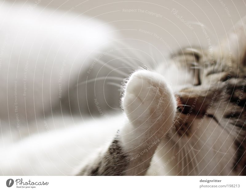 Penibel schön ruhig Erholung Katze Wärme Zufriedenheit Wohnung wild Häusliches Leben weich Reinigen Sauberkeit Fell Sofa Wohlgefühl Körperpflege