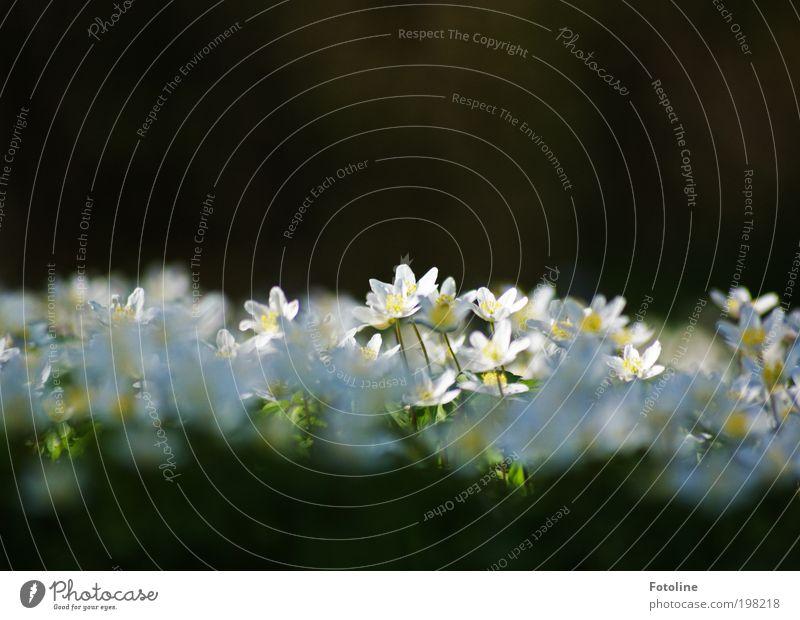 Erleuchtung Umwelt Natur Landschaft Pflanze Urelemente Erde Sonne Frühling Klima Wetter Schönes Wetter Wärme Blume Gras Blüte Garten Park Wiese hell grün weiß