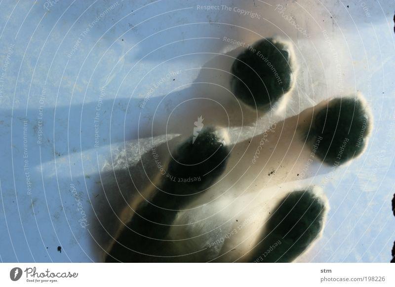 auf samtenen pfoten Natur blau Tier Tierjunges Kraft Wildtier außergewöhnlich authentisch weich Pfote Froschperspektive Experiment Landraubtier