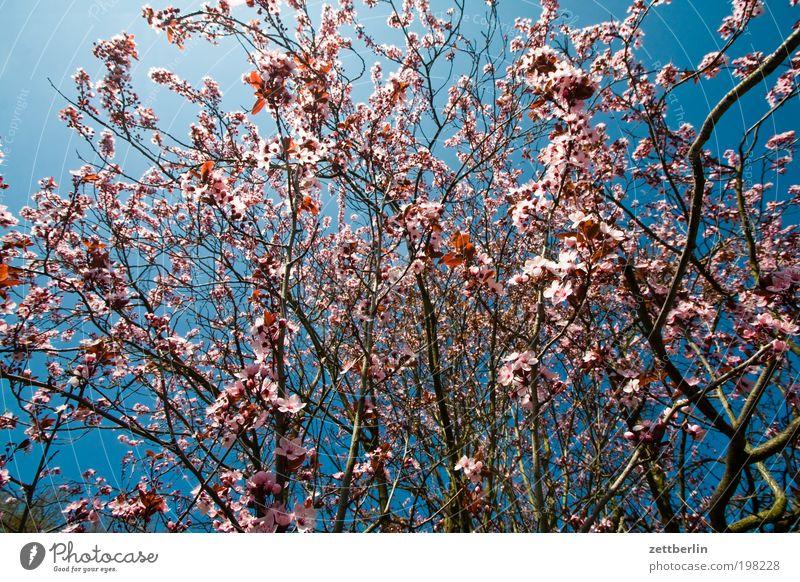 Spätfrühling/Frühsommer April Natur Pflanze Frühling Blühend Blüte Sträucher Zweig Wachstum Jahreszeiten Sommer Himmel Blauer Himmel himmelblau