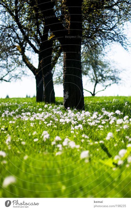 Wiese, Blumen, Bäume Umwelt Natur Landschaft Pflanze Himmel Sonne Sonnenlicht Frühling Sommer Klima Schönes Wetter Wärme Baum Gras Blüte Grünpflanze Nutzpflanze