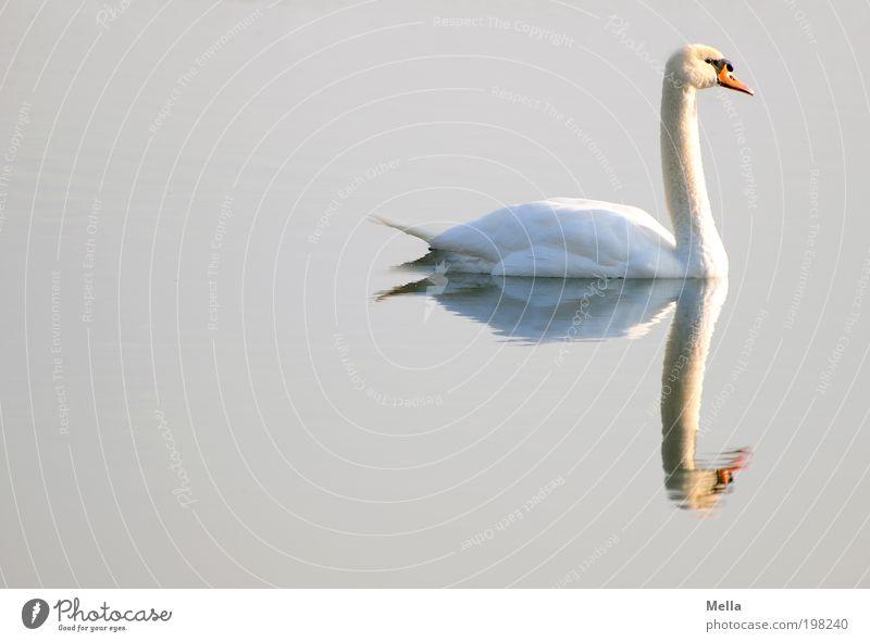Still Natur Wasser ruhig Tier See Stimmung hell Vogel glänzend elegant Umwelt nass frei ästhetisch Romantik rein