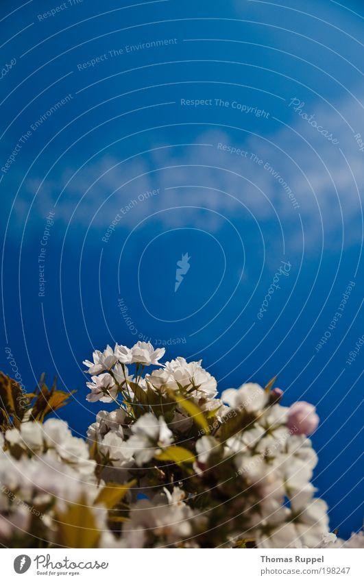Weiße Blüten Natur Pflanze Himmel Wolken Frühling Wetter Schönes Wetter Wärme Blume Sträucher Blatt Grünpflanze schön weich blau grün weiß Zufriedenheit