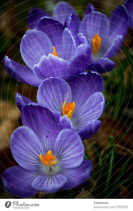 Bereit Natur Pflanze Frühling Blüte Krokusse Garten Park Blühend Duft Wachstum ästhetisch grün violett orange Stimmung Fröhlichkeit Frühlingsgefühle achtsam