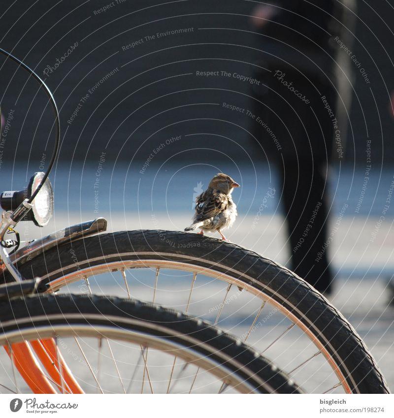 Spatz II ruhig Tier Zufriedenheit Fahrrad Vogel klein niedlich achtsam