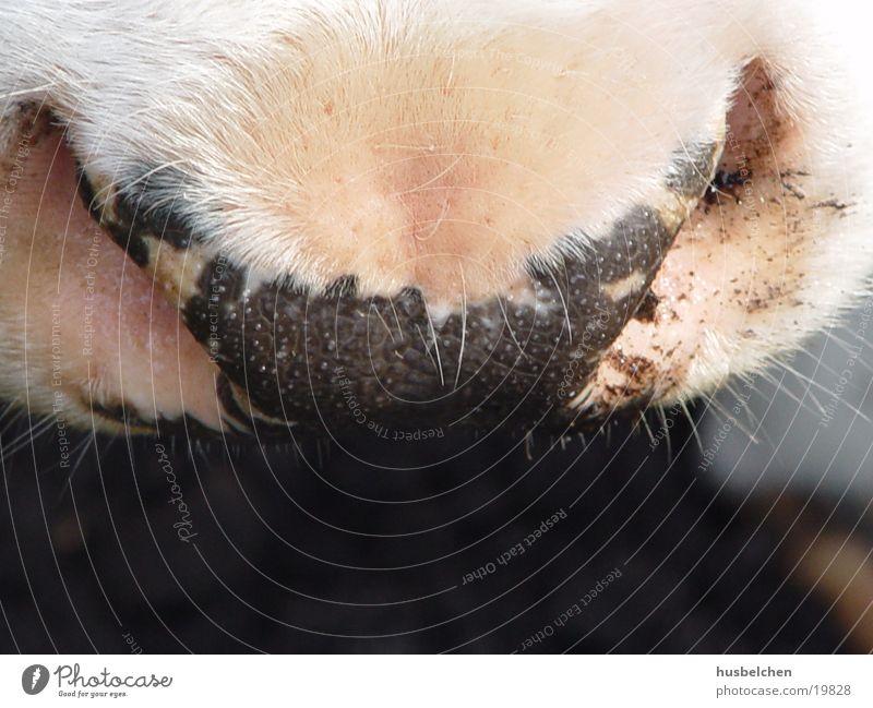 kuhl! Nase Kuh Bart atmen Schnauze Nüstern