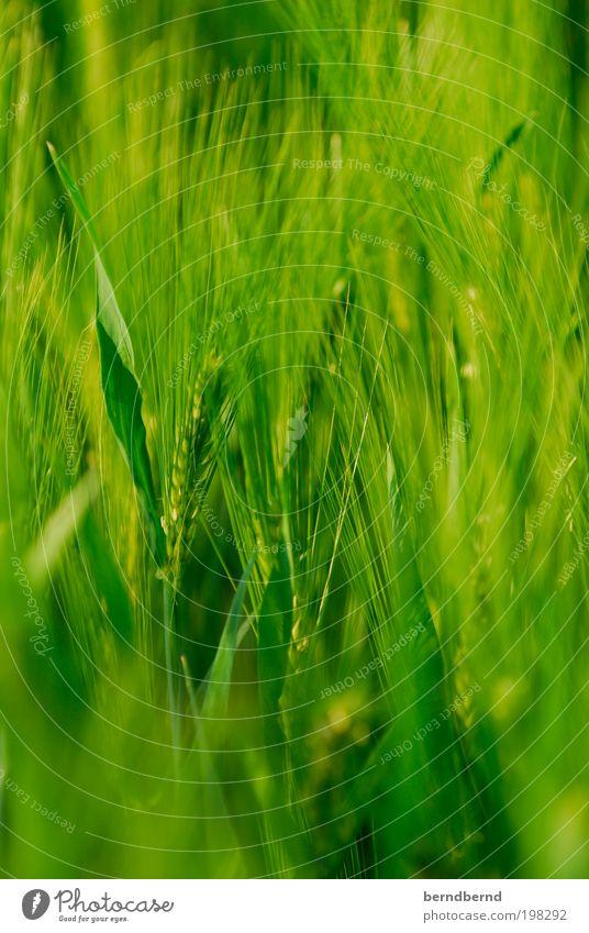 Getreide Umwelt Natur Landschaft Pflanze Sommer Nutzpflanze Feld beobachten träumen Wachstum grün Stimmung ruhig authentisch Erholung Freiheit Frieden Idylle