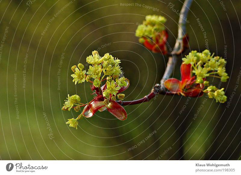Aufgebrochen elegant harmonisch Pflanze Frühling Baum Blüte Wildpflanze Blühend frisch schön gelb grün rot Stimmung ruhig Zweig Doldenblüte Park Farbfoto