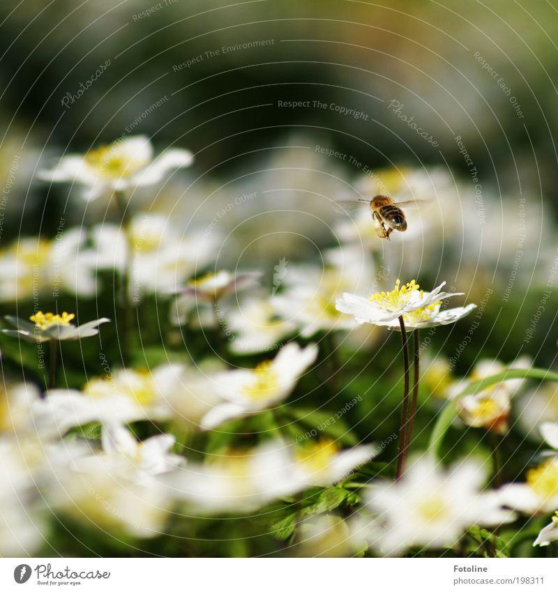 Fleißiges Bienchen Umwelt Natur Landschaft Pflanze Tier Frühling Klima Wetter Schönes Wetter Wärme Blume Gras Blüte Garten Park Wiese Nutztier Biene Flügel hell